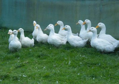 Free Range Halal Meat - Ducks