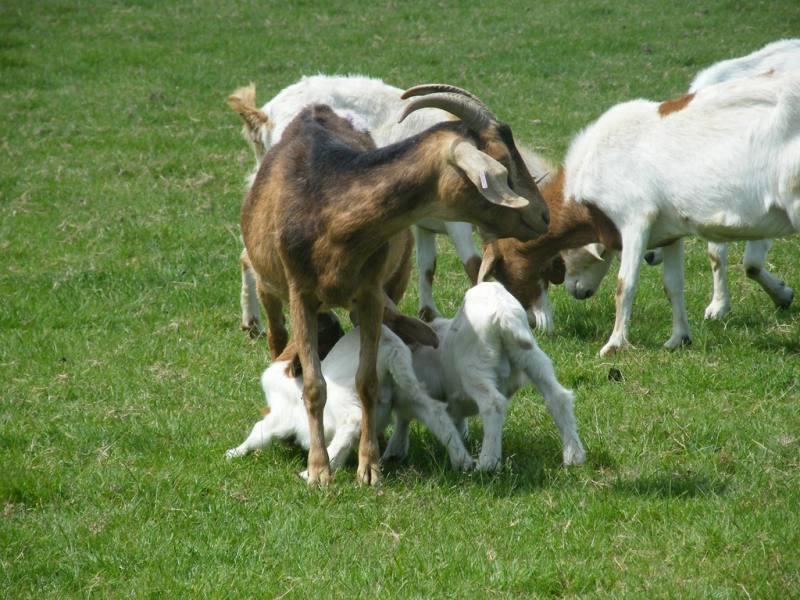 Halal Free Range Meat Chicken Goat Lamb Amp Turkey