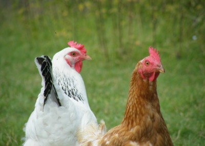 Free Range Halal Meat - Chicken