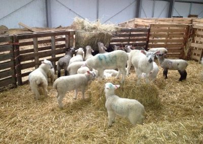 Halal Farm Lamb