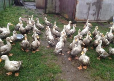 Water + Freerange = Muddy Ducks