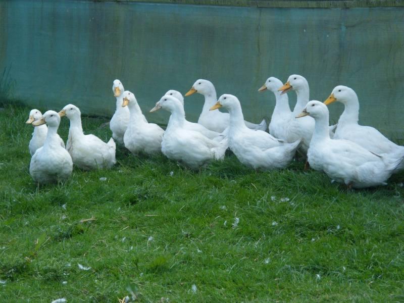 Free Range Halal Meat - Duck