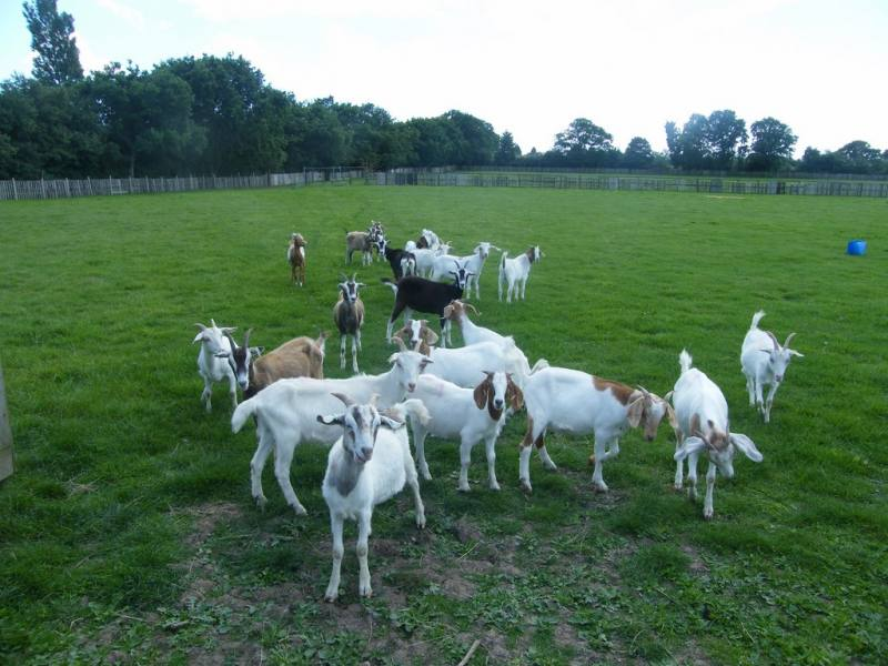 Free Range Halal Meat - Goat