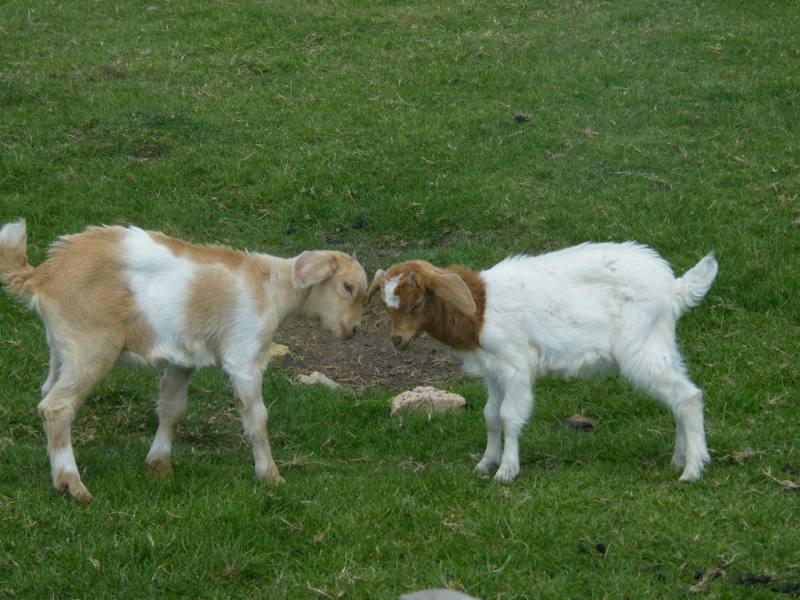 Goat - Free Range Halal Meat