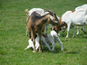 Free Range Halal Meat - Goats