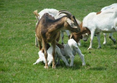 Goats on the Farm