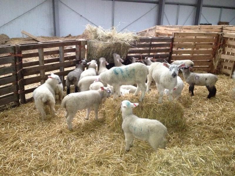 Free Range Halal Meat - Lamb
