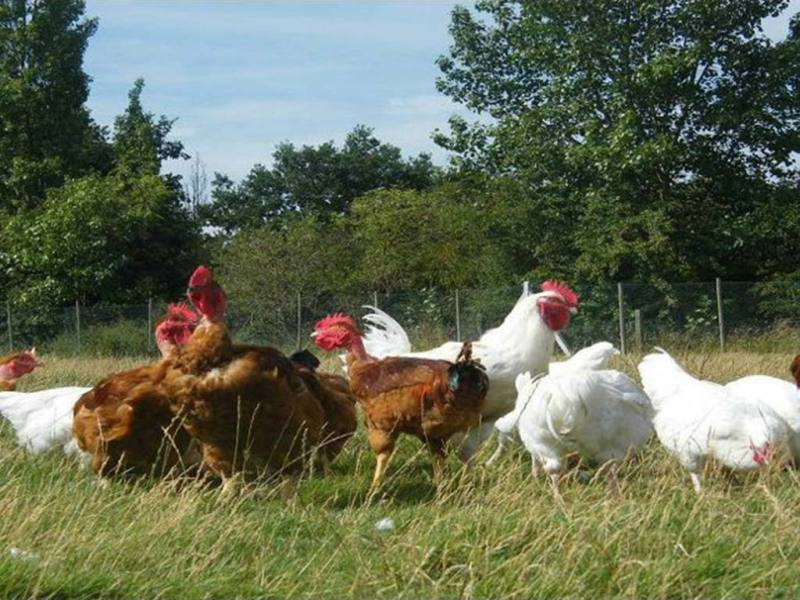 Free Range Halal Meat - Chicken